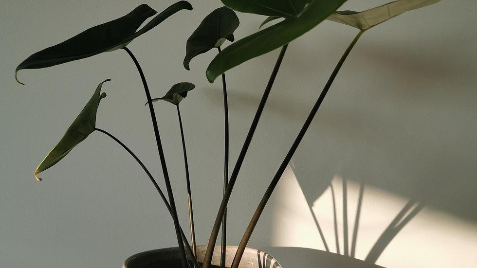 Alocasia zebrina Black Stem