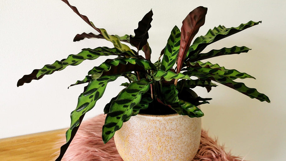 Calathea lancifolia (Rattle snake)