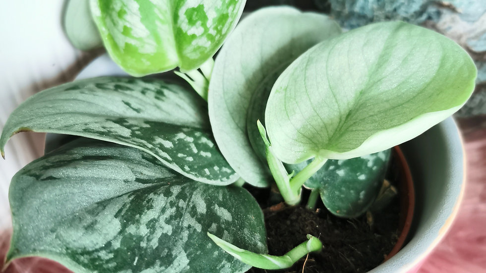 Scindapsis pictus silvery ann