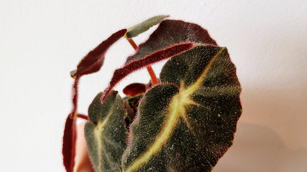 Begonia listada