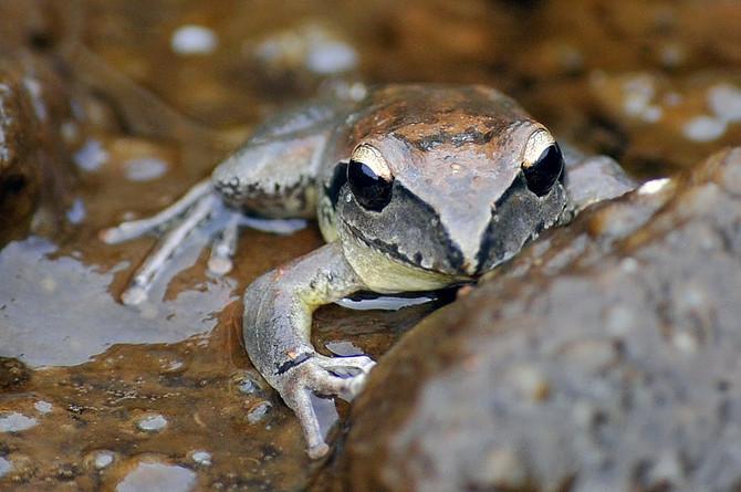 Kikker | Frog