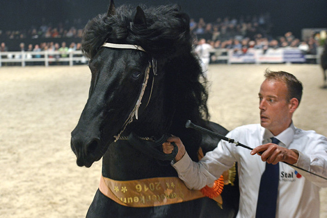 Friese Hengstenkeuring | Friesian Stallions