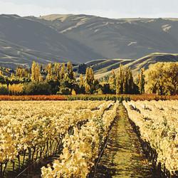 SOLD - Central Otago Vines
