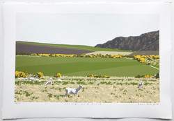 Sheep and Gorse