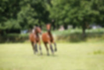 bigstock-Yearlings-Play-Pasture-19707440