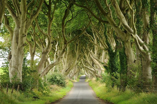 alberi Irlandesi.JPG