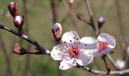 Bachbloesem Kerspruim of Cherry plum helpt je met problemen rond controle. Joriska Vanhaelewyn, experte bachbloesems te Gent, helpt je bij de keuze van Bachbloesems