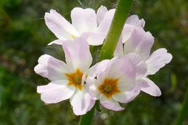De waterviolier of water violet is een Bachbloesem. bachbloesemremedies helpen tegen eenzaamheid, angst, depressie en veel andere psychische problemen. Joriska Vanhaelewyn helpt je met Bachbloesems en met familieopstellingen