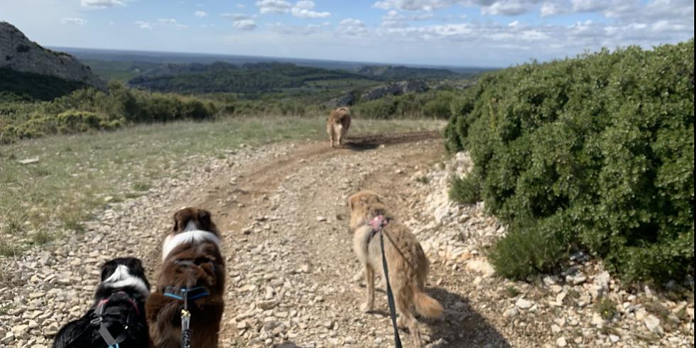 Cani randonnée dans les Alpilles