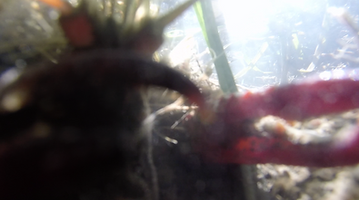 vidéo film art artcontemporin docu docmentaie ecrevisse nature