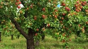 Het peertje in de appelboomgaard