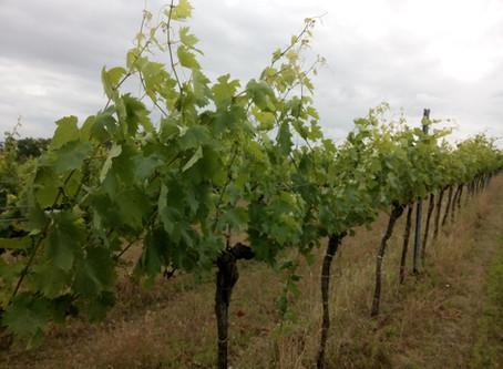 Neuer Weingarten - Steinparz 2