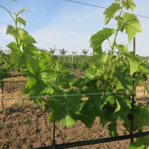 Aktuelles aus den Weingärten: Kurz vor der Blüte