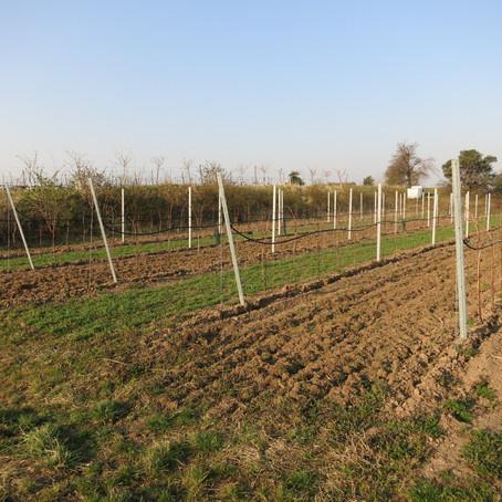 Wieder in den Weingärten