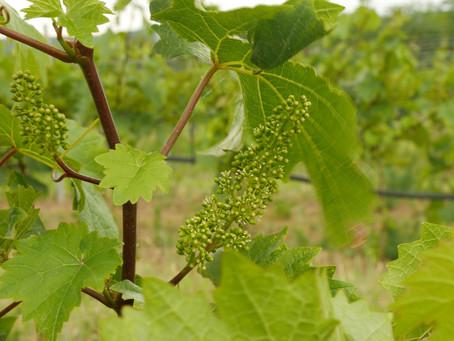 Blühende Weingärten