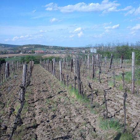 neuer Weingarten