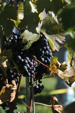 Vivite viticole (75)