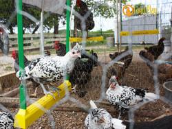 Swinging Chicken