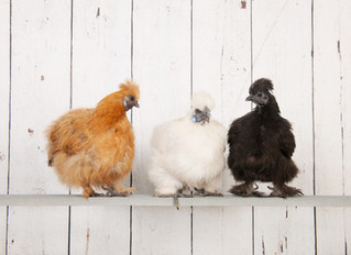 How to Choose the Right Chicken Breed