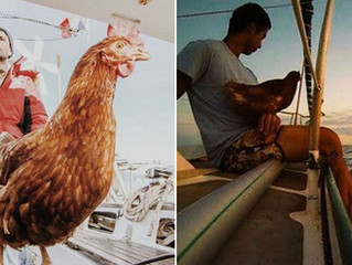 "Follow Fowl Play's ""Chickens in the News"" — and One Sea-faring Hen's Tall Tale"