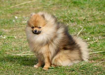 Pomeranian mâle orange charbonné disponible