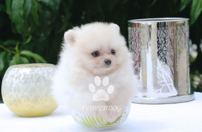 Teacup pom Blanc VENDU - sold