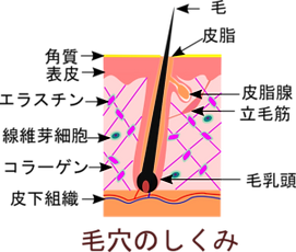 K-clinic-毛穴のしくみ-300x255.png