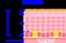 K-clinic-皮膚の構造-1-300x199.png