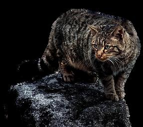 un gato montés acechando a su presa
