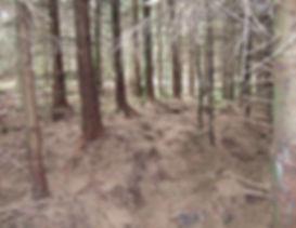 forestry sitka spruce plantation.jpg