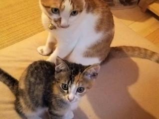里親募集中の子猫はうちの子になりました。名前は、わこ(輪子)です。