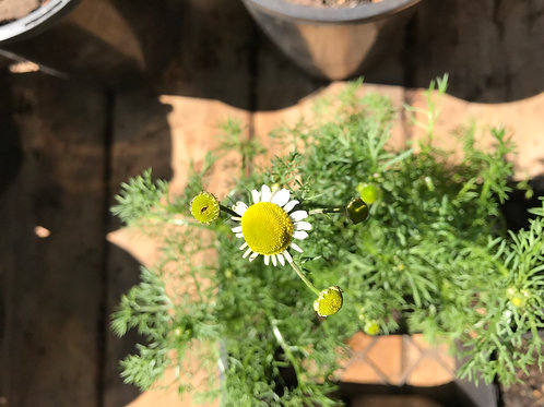 "Chamomile 4"" Potted Plant"