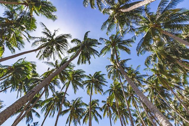 Plantation de Cocotier pour fabrication de bol en coco