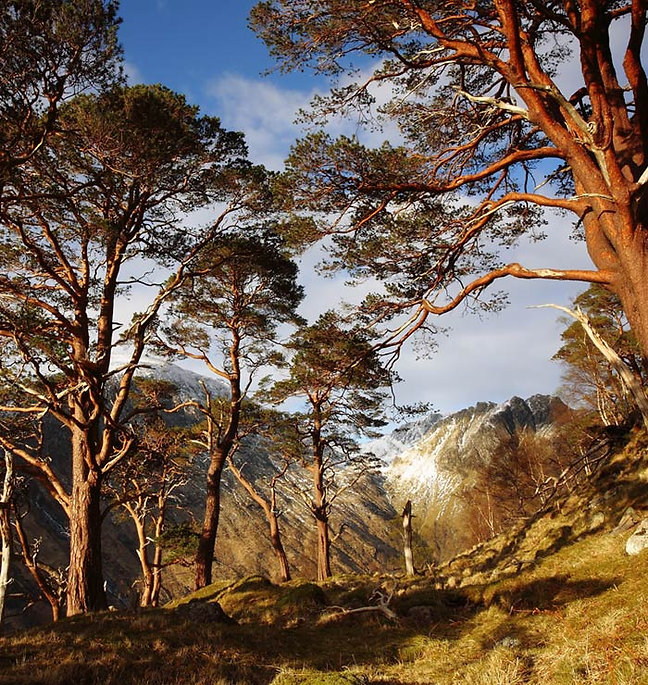 Tall trees with mountains in the background