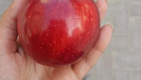 Kentte Ekolojik Elma