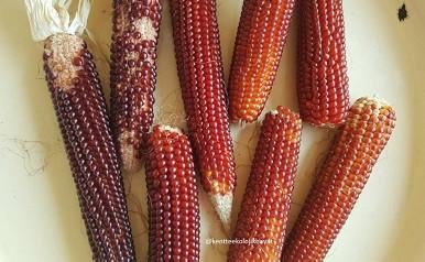 Atalık tohumdan mısır