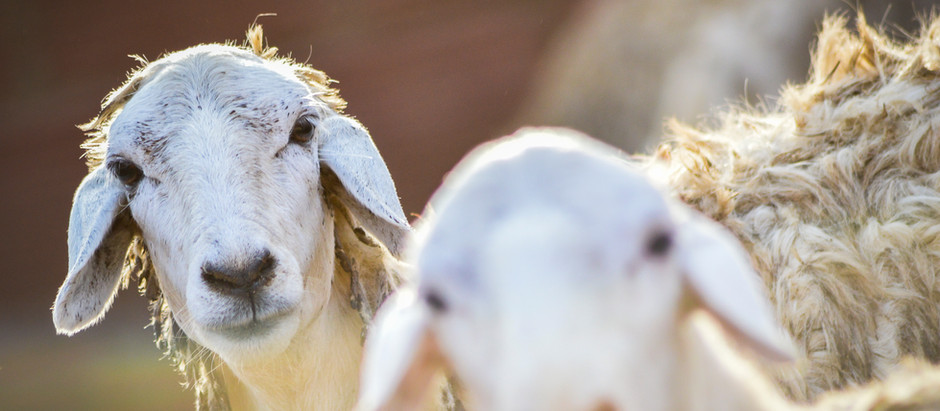 Saudi Arabia bans import of Sudanese livestock after re-emergence of Rift Valley fever
