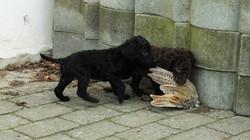 Pups 6 weeks old
