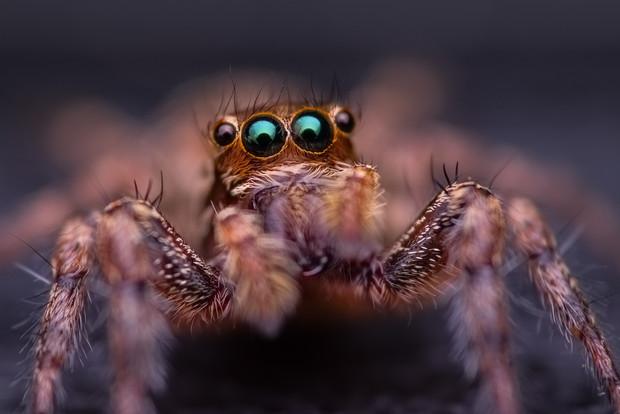 Jumping Spider 2