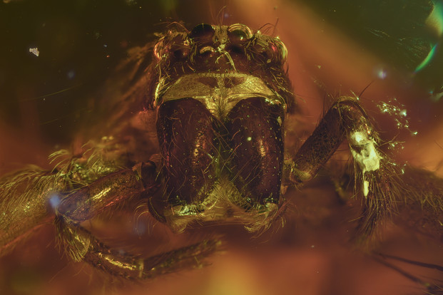 Spider Inclusion in Baltic Amber