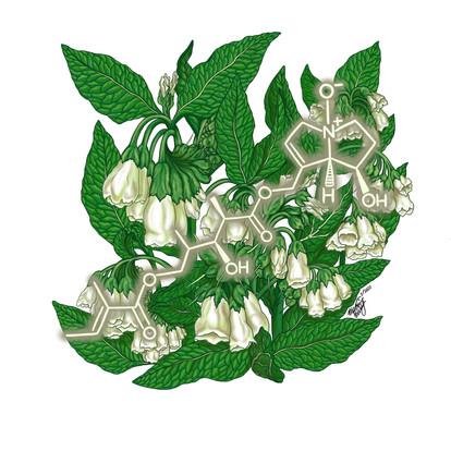 Anadoline (Symphytum oriental)