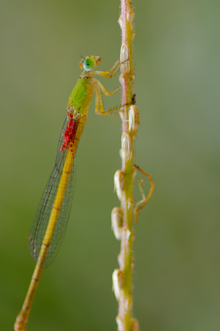 Damselfly carrying eggs