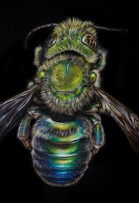 Osmia Metallic Bee (2020)