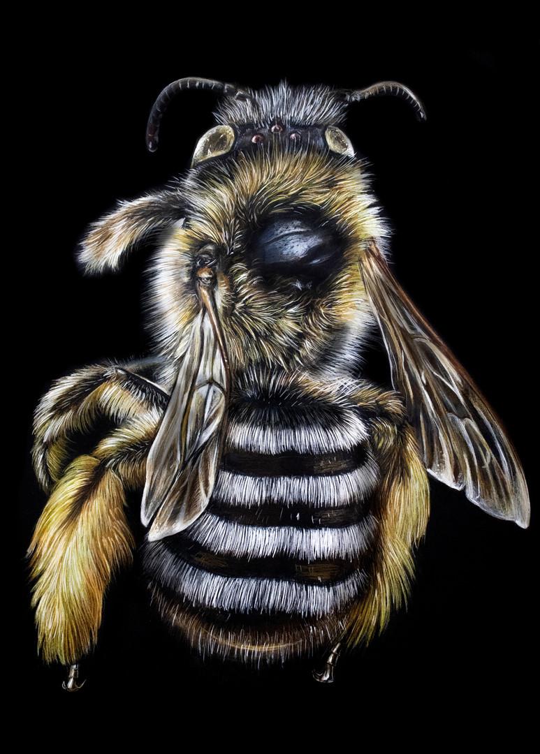 Hairy Footed Hairy Legged Bee (2020)