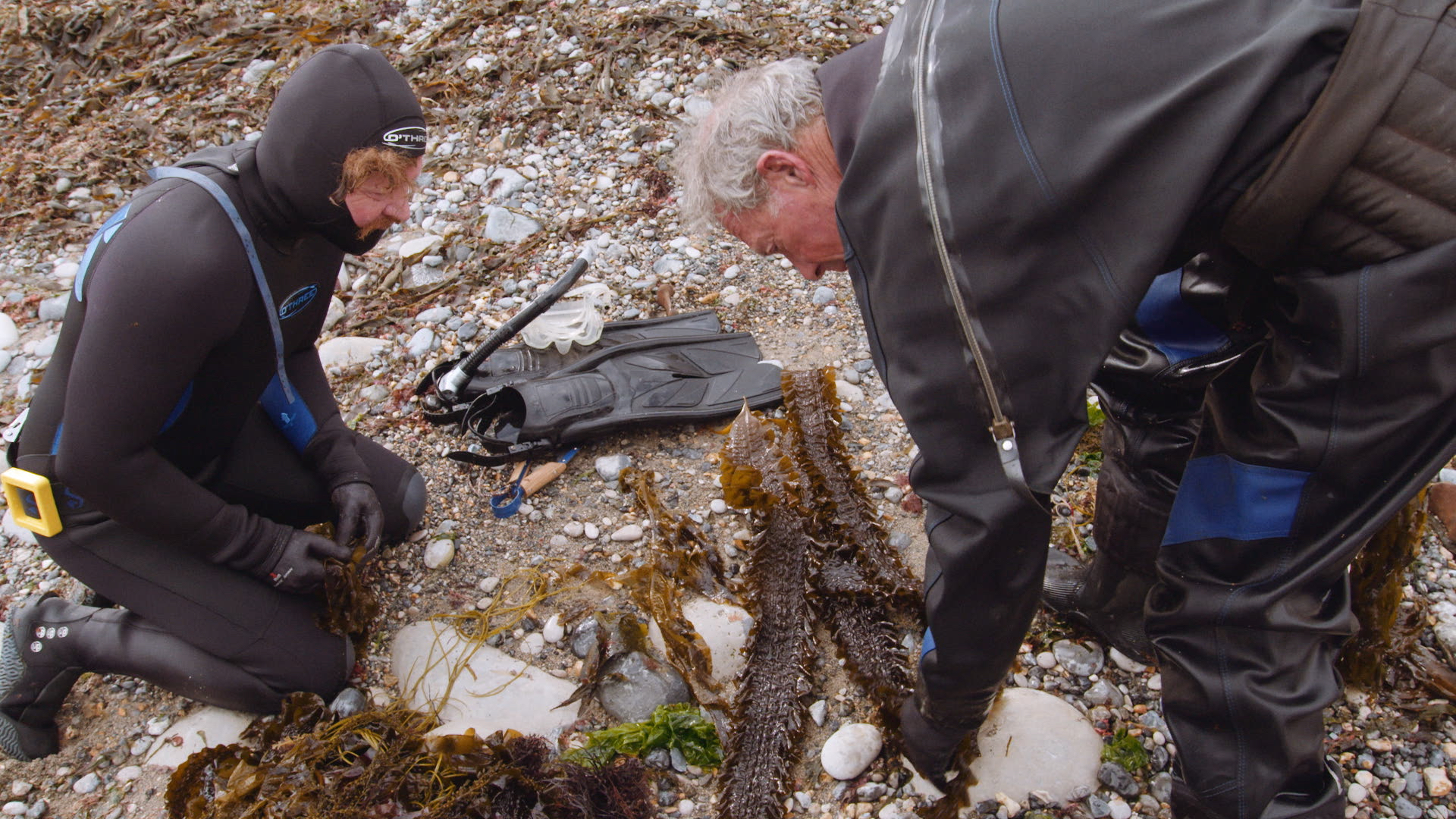 Seaweed harvesting Mike Webb and Hugh Wi