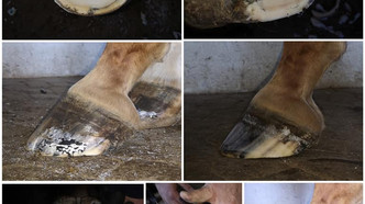 Farrier Photos: Glushu protection for Laminitis and Abscess.