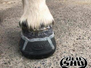 Glushu Case: Laminitis - Dartmoor pony Summer.