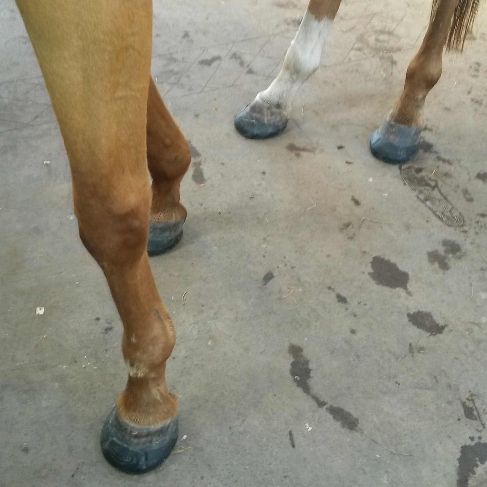 Ojay wearing glushu glue on horse shoes