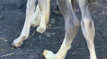 Farrier Video: Glushu for foal with leg problems.