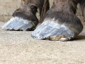 Farrier Report: Glushu when nailing is not an option.